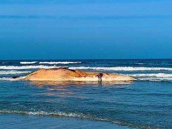 Phát hiện một cá voi chết trôi dạt vào bờ biển
