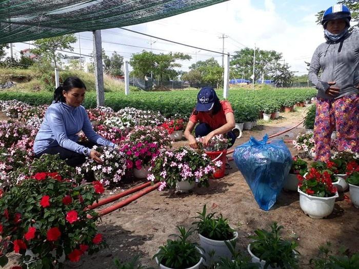 Nhộn nhịp mùa hoa Tết tại các nhà vườn ở Quảng Nam