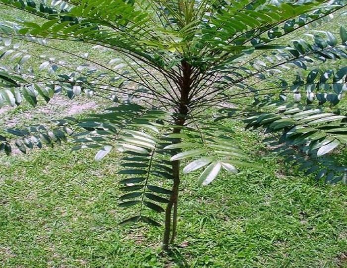 Nghiên cứu thành công tác dụng kháng viêm của cây Bá bệnh