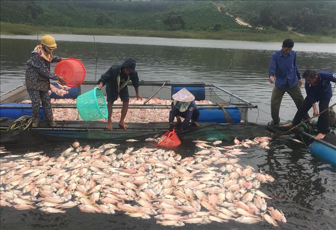 Xử lý hơn 26 tấn cá chết do ảnh hưởng bão số 5