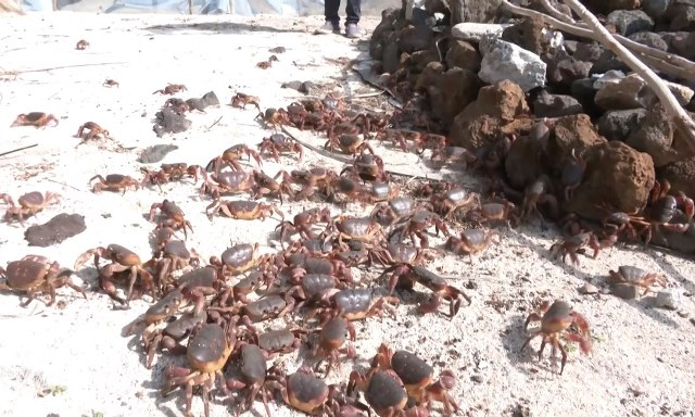 Bảo tồn cua đá ở huyện đảo Lý Sơn 