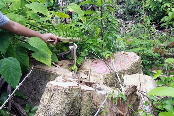 Khởi tố, bắt tạm giam thêm một đối tượng phá rừng giáp ranh tại Phú Yên