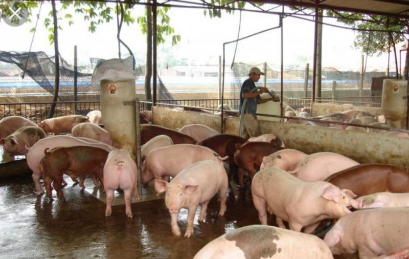 Bộ NN&PTNT: Triển khai các giải pháp gỡ khó cho ngành chăn nuôi