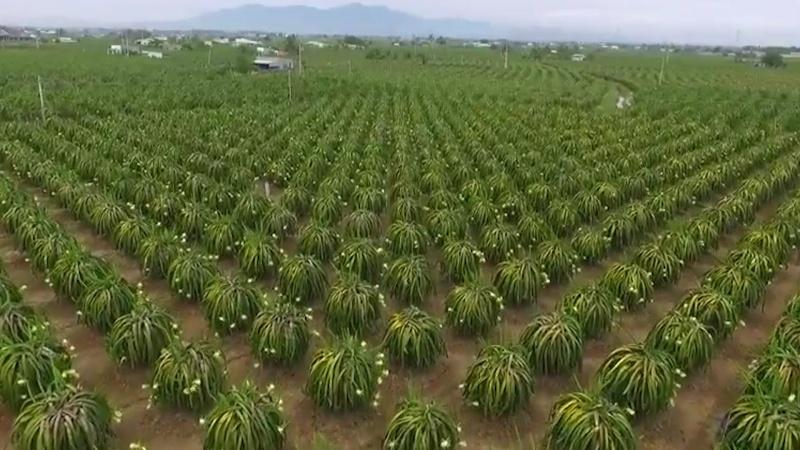 Bình Thuận: Chủ trương không mở rộng diện tích trồng cây thanh long mà tập trung vào chất lượng sản phẩm