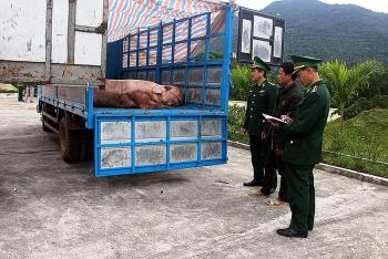 Bắt giữ hai xe tải cùng 1.8 tấn lợn thịt trên đường vận chuyển qua biên giới