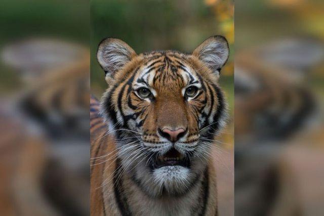 Hổ ở sở thú nhiễm Covid-19