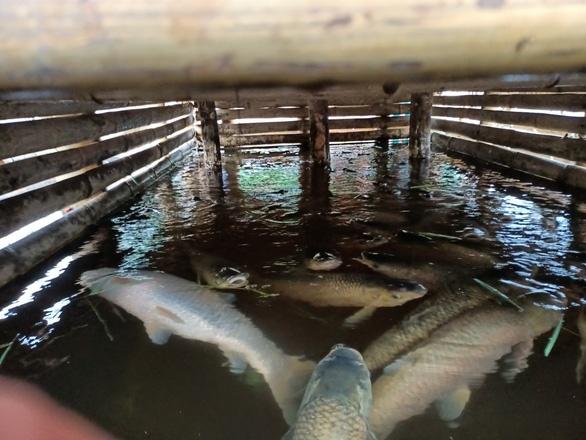 Nước chuyển đen ngòm, cá chết hàng loạt trên sông Mã