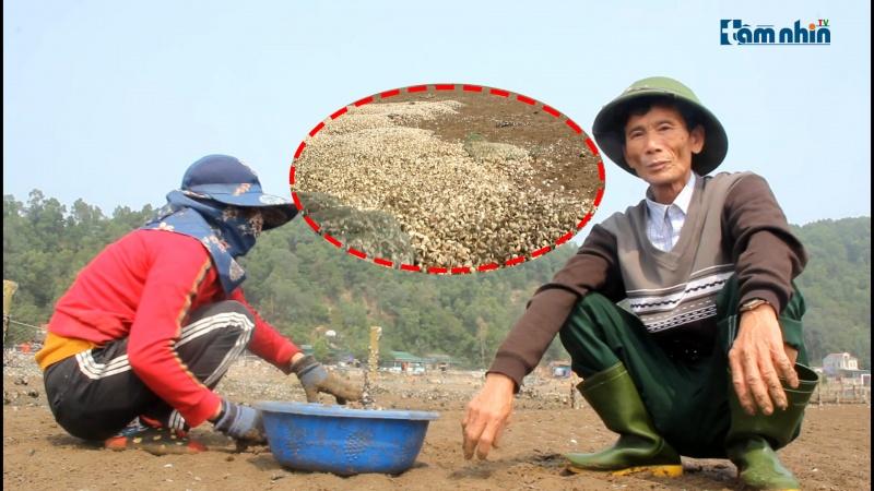 Người nuôi ngao Nghệ An thiệt hại hàng tỷ đồng do ngao chết hàng loạt