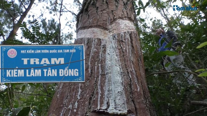 Bài 2: Người dân tố cáo kiểm lâm cấu kết với lâm tặc bức tử rừng thông tại VQG Tam Đảo