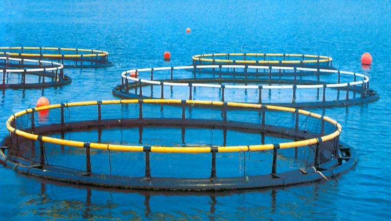 Làm giàu từ nghề nuôi cá biển