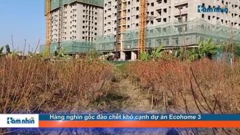 Hàng nghìn gốc đào chết khô cạnh dự án Ecohome 3