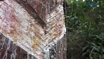 Bài 1: Hàng chục ngàn cây thông tại VQG Tam Đảo kêu cứu